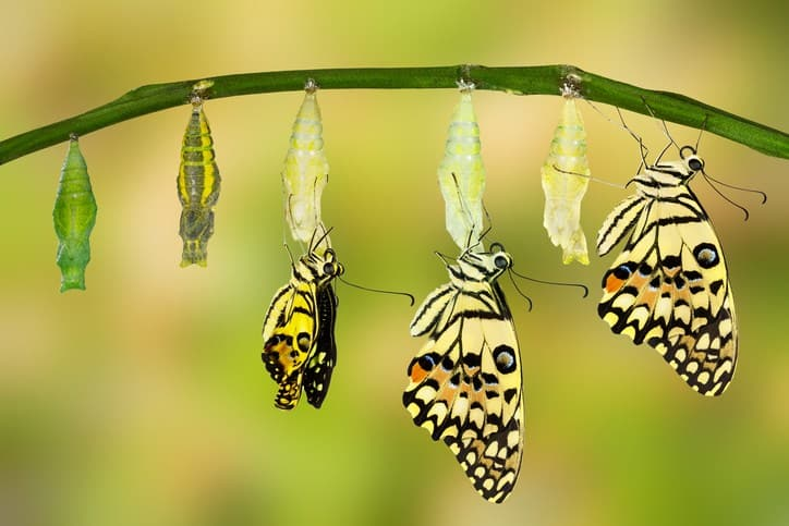 photos showing metamorphosis from coccoon to butterfly